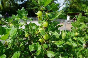 gooseberries - buzztify