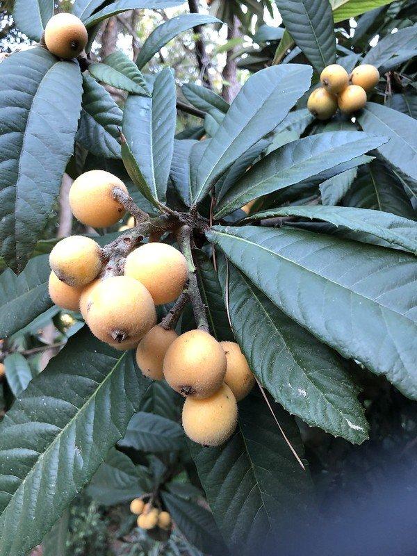 Loquat tree leaves